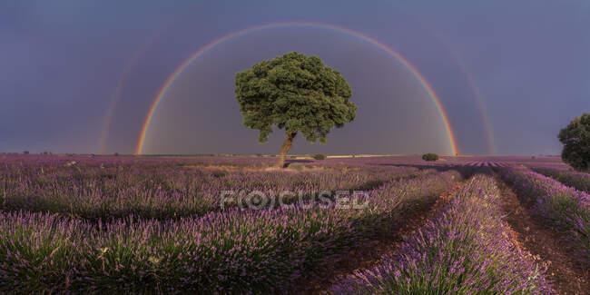 Maestoso scenario di fiori di lavanda in fiore e albero verde che cresce in campo sotto l'arcobaleno nel cielo nuvoloso — Foto stock