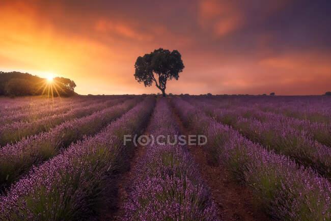 Majestuoso paisaje de árbol solitario creciendo en el campo con flores de lavanda en flor en el fondo del cielo colorido del atardecer - foto de stock