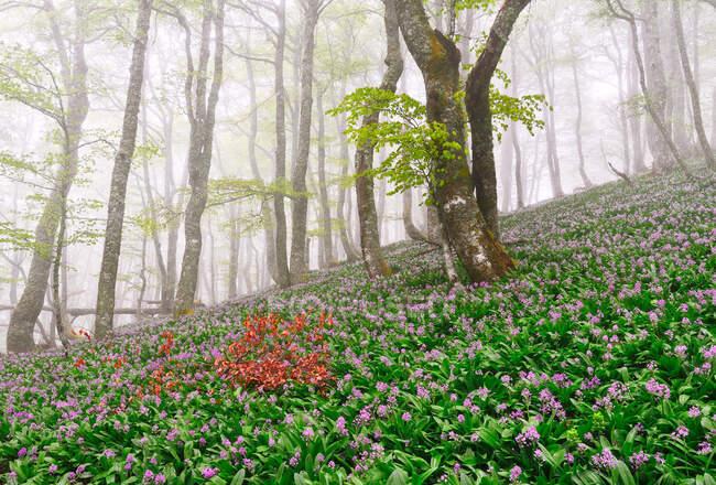 Vista panoramica di prato lussureggiante con fiori di croco viola in fiore che crescono nella foresta in primavera il giorno nebbioso — Foto stock