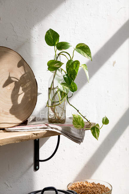 Green seedling of houseplant placed in glass bottle with water on wooden shelf near white wall in kitchen — Stock Photo