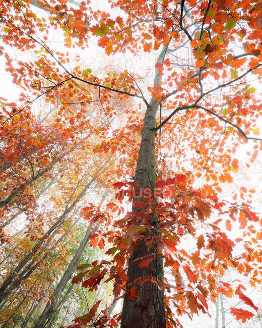 From below of tall oak tree with colorful leaves growing in woods in fall — Stock Photo
