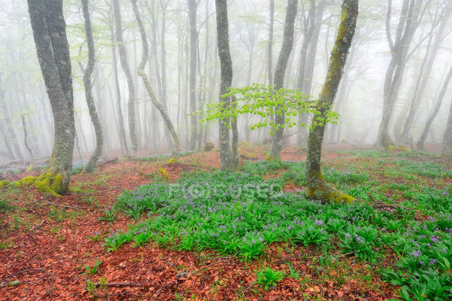 Scenic view of lush meadow with blossoming purple crocus flowers growing in forest in spring on foggy day — Stock Photo