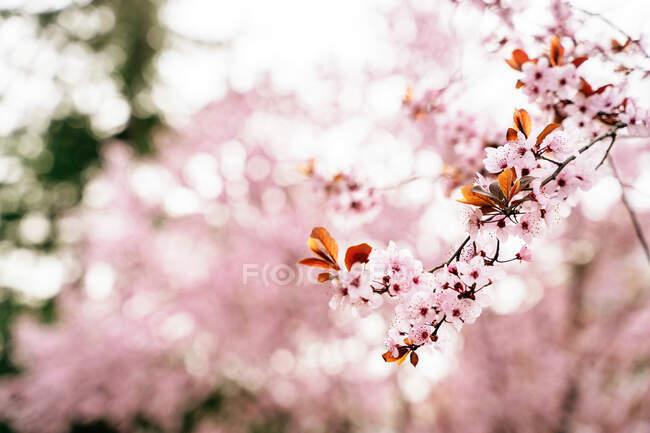 Rama de árboles florecientes con flores de color rosa pálido con agradable aroma que crece en primavera sobre un fondo borroso - foto de stock