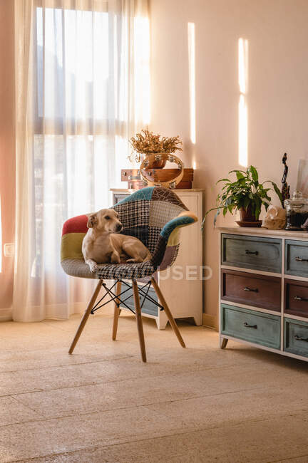 Привабливий чистокровний собака лежить у кріслі з орнаментом, озираючись на коммоду на світлій площині. — стокове фото
