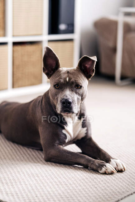 American Staffordshire Terrier with brown and white coat lying down on the floor looking forward at home — Stock Photo