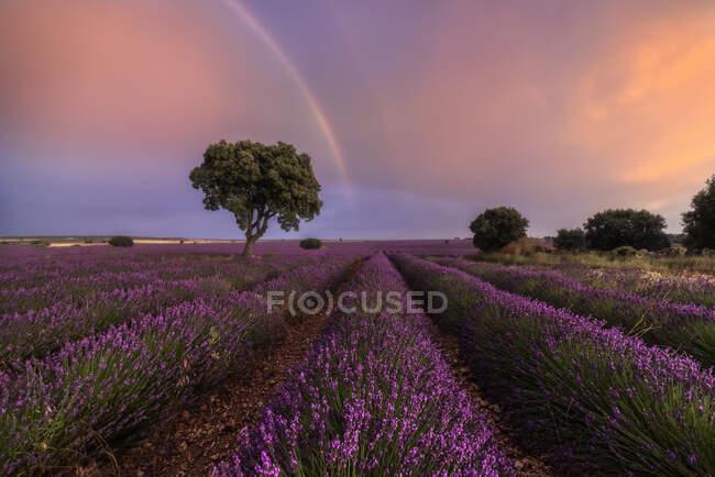 Величественный пейзаж цветущих цветов лаванды и зеленого дерева, растущего в поле под радугой в облачном небе — стоковое фото