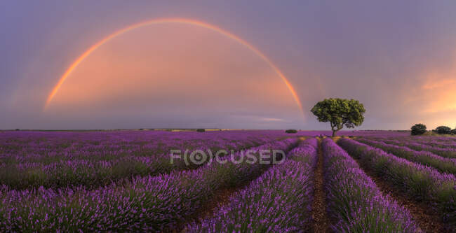 Majestic scenery of blooming lavender flowers and green tree growing in field under rainbow in cloudy sky — Stock Photo