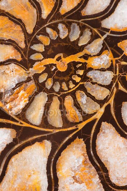 Un invertebrado marino extinto Marruecos. Existía durante el período Cretácico. Durante la fosilización la cáscara fue reemplazada por un compuesto de hierro. - foto de stock