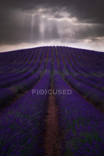Spectacular view of rows of blossoming lavender field under thunderstorm sky in summer — Stock Photo