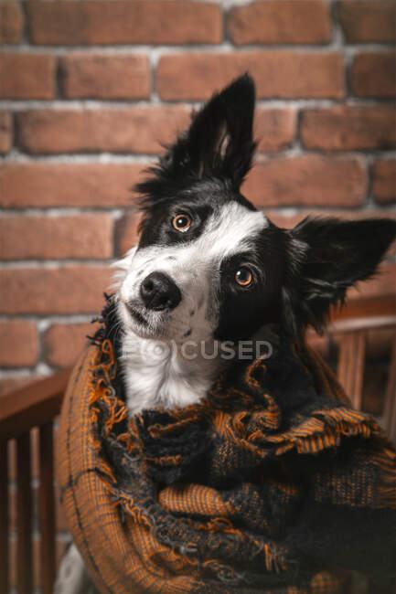 Милая пушистая пограничная собака колли, завернутая в теплое одеяло, сидит дома на деревянном стуле — стоковое фото