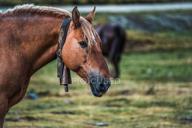 Chestnut horse with metal bell on neck on blurred background of meadow with fresh green grass — Stock Photo