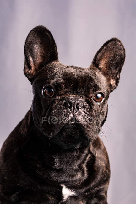 Obedient French Bulldog with dark fur and brown eyes looking away against light purple background — Stock Photo