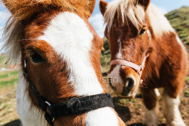 Mares with white and brown coat in bridles standing on green meadow under cloudy sky in countryside — Stock Photo