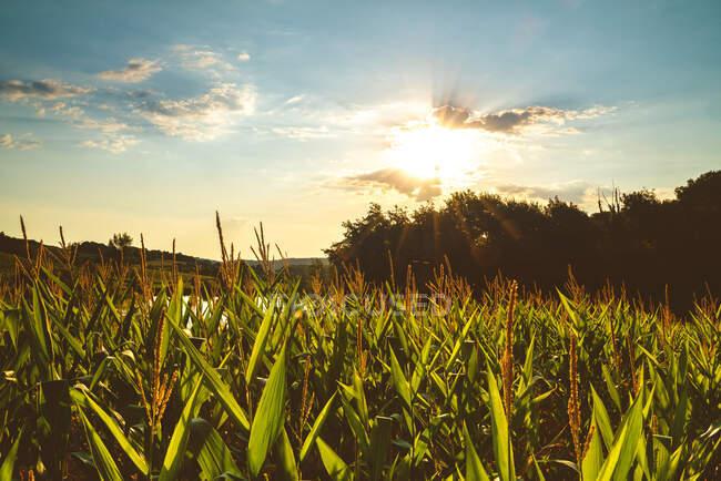 Paisaje de plantas verdes verdes que crecen en abundante campo agrícola bajo el cielo azul - foto de stock