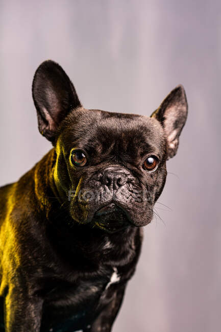 Obedient French Bulldog with dark fur and brown eyes looking at camera against light purple background — Stock Photo