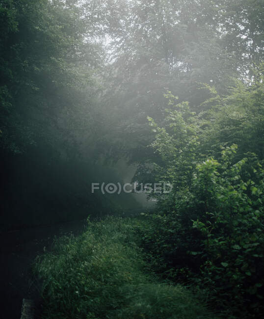 Scenic view of high trees with thin trunks and green branches growing in forest on foggy day — Stock Photo