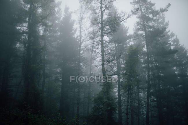 Сценический вид высоких деревьев с тонкими стволами и зелеными ветвями, растущими в лесу в туманный день — стоковое фото