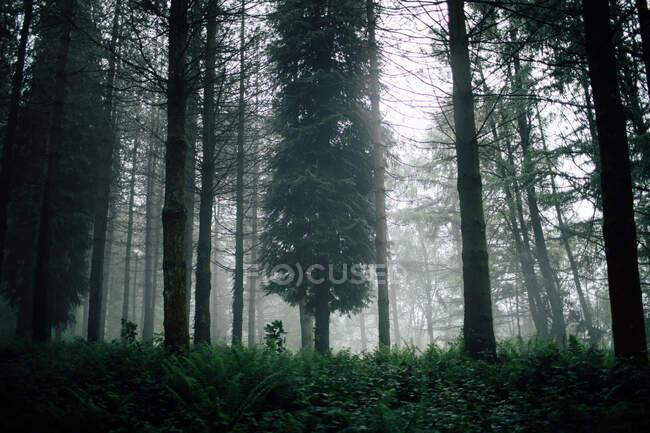 Overgrown trees in misty woods under gray sky — Stock Photo