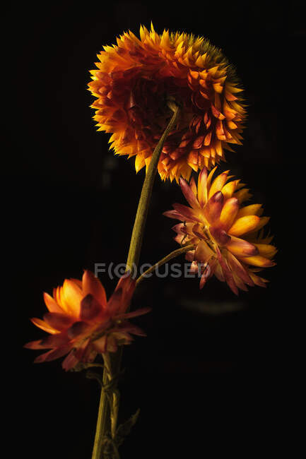 Fleurs de paille délicates avec des pétales orange et jaune sur fond noir en studio sombre — Photo de stock