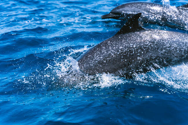 Dolphins with pointed fins and beaks swimming in blue ocean water with foam in daylight — Stock Photo