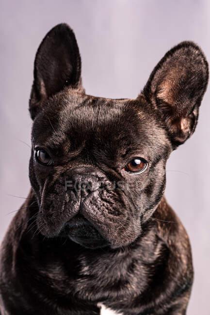 Obediente Bulldog francés con piel oscura y ojos marrones mirando a la cámara sobre fondo púrpura claro - foto de stock