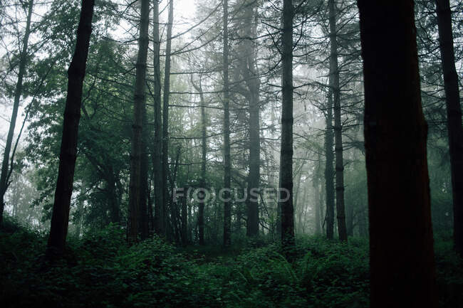 Overgrown trees in misty woods under gray sky — Stock Photo