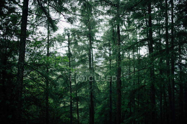 Tall coniferous trees with lichen on trunks growing in dense woodland on cold weather — Stock Photo