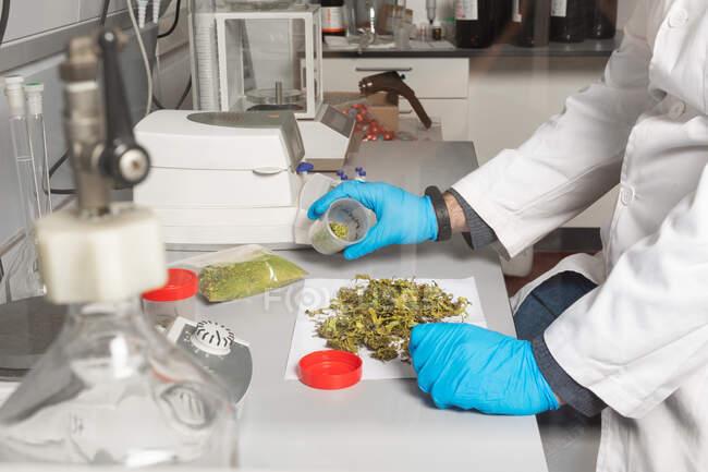 Vista lateral del cultivo irreconocible biólogo masculino en uniforme estudiando cogollos de flores de marihuana seca en mesa de laboratorio entre equipos profesionales - foto de stock