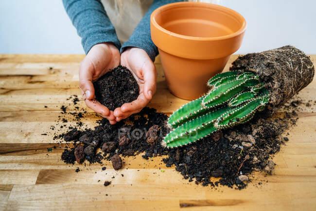 З понад врожаю анонімний жіночий садівник тримає жменьку родючої землі, а також саджає свіжі дорогі кактуси в каструлі за дерев'яним столом. — стокове фото