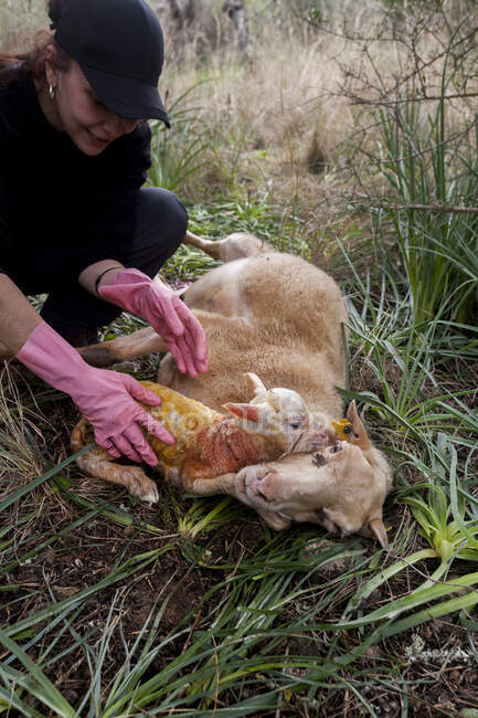 Smiling female farmer in black clothes and rubber gloves caressing adorable newborn lamb lying near tired mother on grassy lawn — Stock Photo