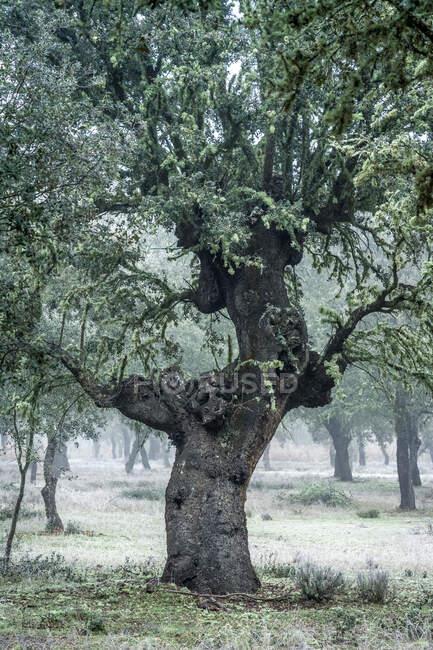 Древний холм дубовый лес (Quercus ilex) в туманный день с вековыми деревьями, Замора, Испания. — стоковое фото