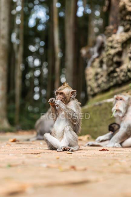 Кумедна мавпа їсть фрукти в сонячних тропічних джунглях Індонезії. — стокове фото