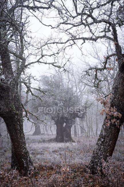 Antica foresta di lecci (Quercus ilex) in una giornata nebbiosa con alberi centenari, Zamora, Spagna. — Foto stock