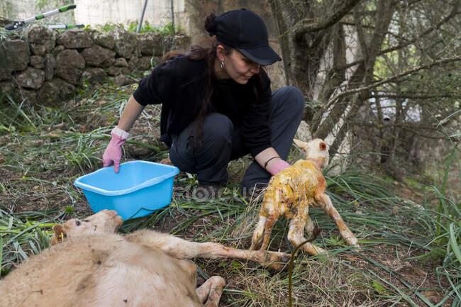 Cultivo agricultora anónima en negro desgaste de flexión hacia adelante y llevar ovejas recién nacidas lindo en tierras de cultivo de verano - foto de stock