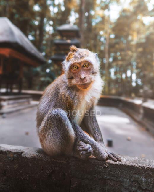 Кумедна мавпа дивиться на фотоапарат у сонячних тропічних джунглях Індонезії. — стокове фото