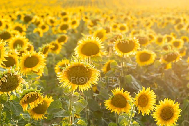 Paesaggio pittoresco di vasto campo agricolo con girasoli gialli in fiore nella campagna estiva — Foto stock