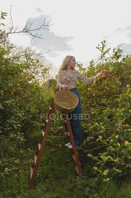 Corpo inteiro de jovem fêmea em pé na escada e pegando limões maduros em cesta de vime durante a época de colheita na fazenda — Fotografia de Stock
