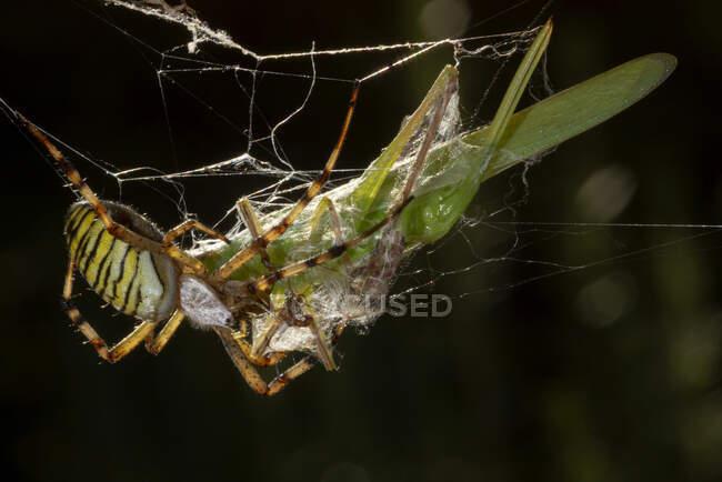 Macro tiro de Argiope Audouin aranha comer capturado gafanhoto presa pendurado na teia na natureza — Fotografia de Stock