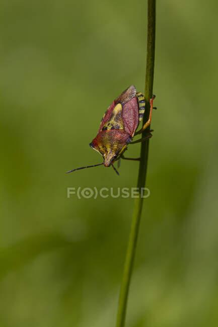 Closeup de Dolycoris baccarum sloe bug ou peludo shieldbug rastejando no caule contra a natureza verde turva — Fotografia de Stock