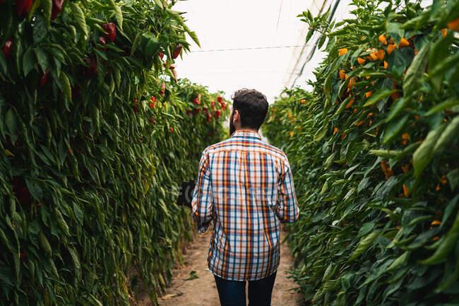 Volver Vista del hombre anónimo caminando en una exótica vegetación de pimientos de invernadero - foto de stock