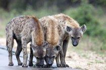 Tre iene sulla strada — Foto stock