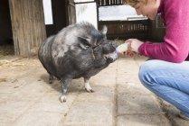 Женщина кормит свинью бутылкой — стоковое фото