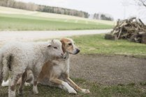 Lamb with dog in barn — Stock Photo