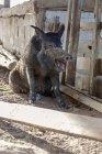 Дикий кабан зевая — стоковое фото
