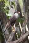 Caracara commun se percher sur une branche d'arbre — Photo de stock