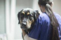 Ветеринар проверяет собаку — стоковое фото