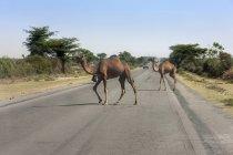Kamele, die Straße überqueren — Stockfoto