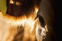 Moyenne de jeune vache au soleil du matin — Photo de stock