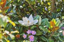 Close-up de flores brancas e rosa floresce no jardim — Fotografia de Stock