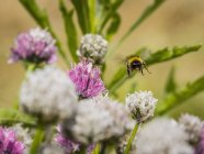 Bumblebee flying over white and purple chives flowers — Stock Photo